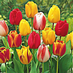 Tulip - Mixed Darwin